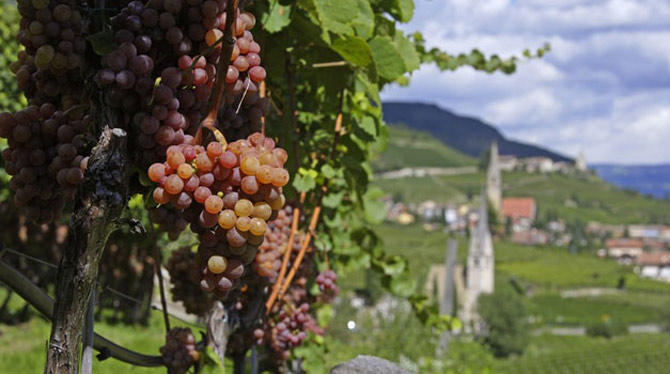 grapes-gewurztraminer