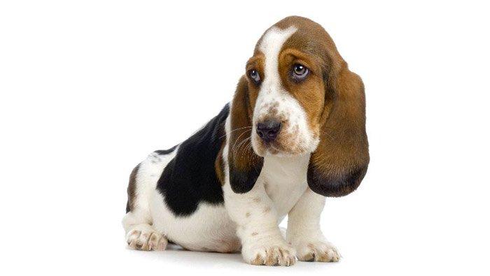 puppy-basset