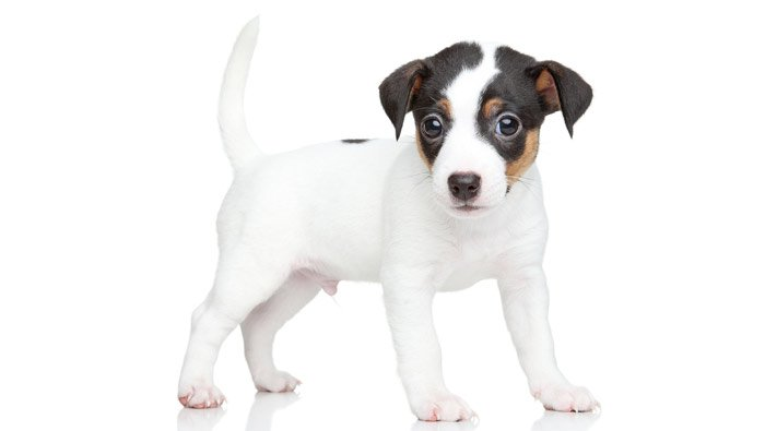puppy-jack-russell