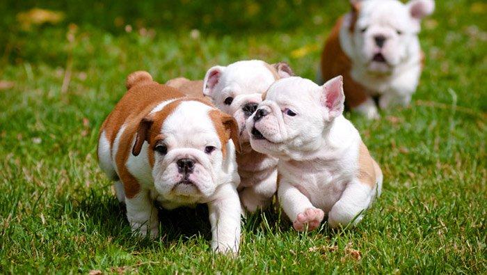 puppy-english-bull