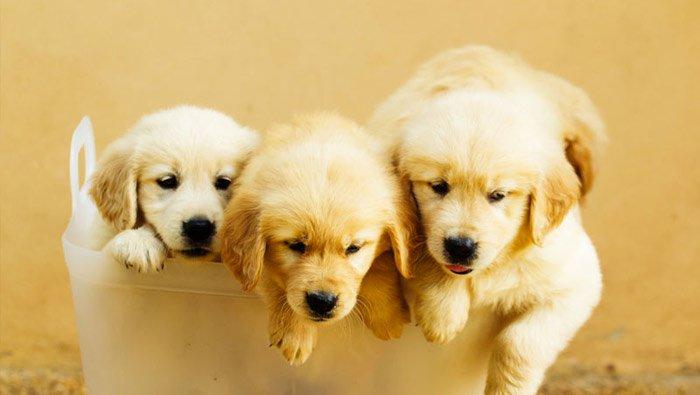 puppy-golden