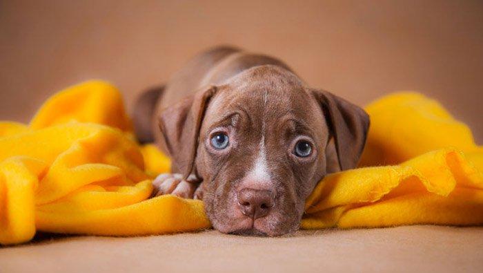 puppy-pittbull