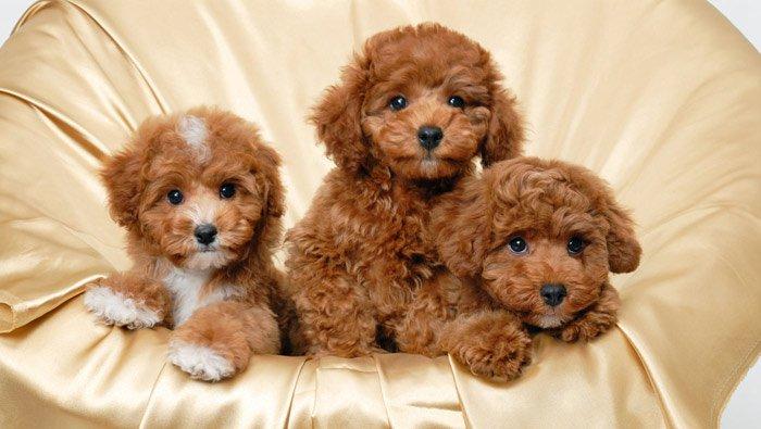 puppy-poodle