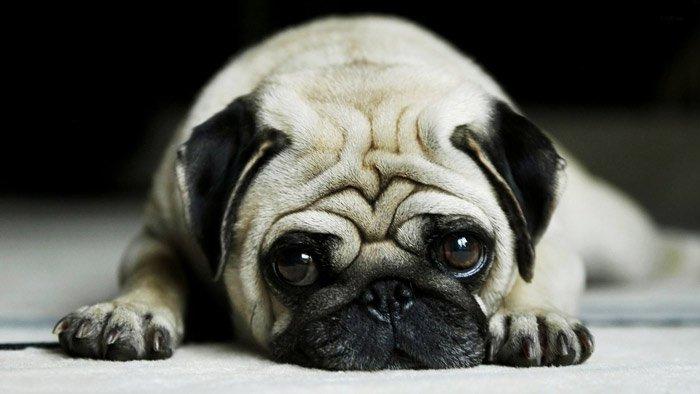 puppy-pug