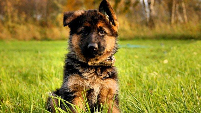 puppy-shepard